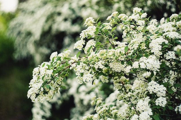 素晴らしい春の背景白い花シモツケのクローズアップ