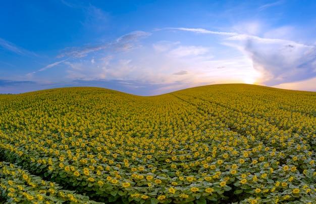 Wonderful summer landscape. colored sunset over a sunflower field.