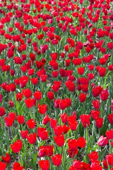 Прекрасное цветение тюльпанов в саду тюльпанов летом