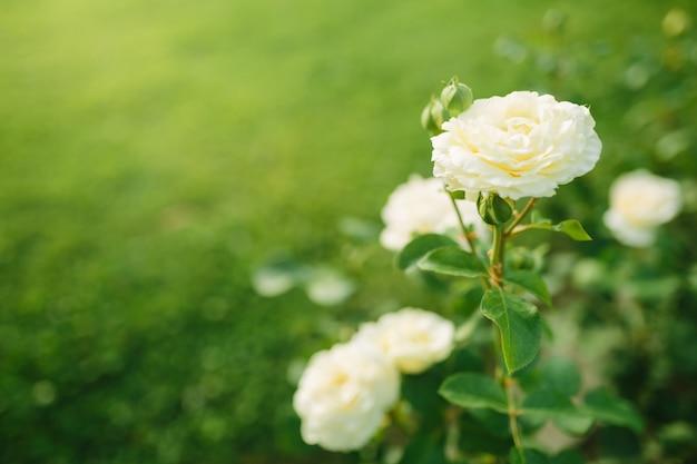 일몰 정원에서 부시에 피는 멋진 흰 장미 꽃