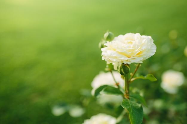 일몰 정원에서 부시에 피는 멋진 흰 장미 꽃 근접 촬영