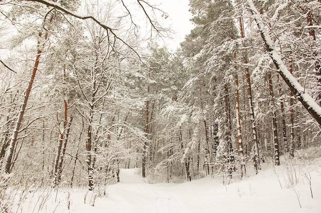 素晴らしい冬の森。信じられないほど美しい自然。雪の降る冬。高い木々。針葉樹林