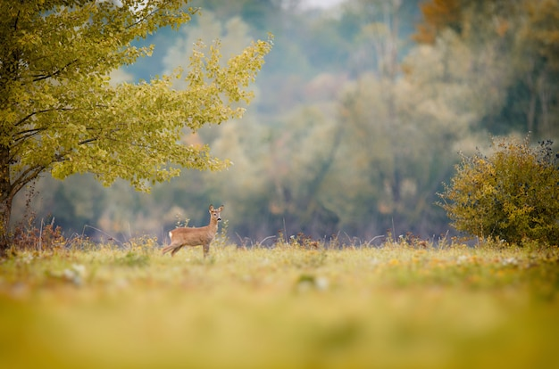 Wondering deer standing in a grassy field