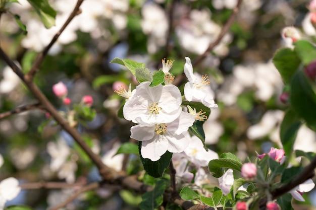 5月の春に果樹園で育つリンゴの木の木と白の花。写真は、被写界深度が浅いクローズアップで撮影されました。