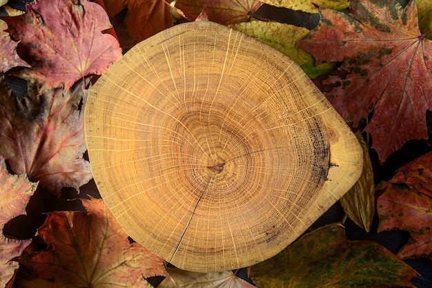 Wood cross section and colourful autumn maple leaves