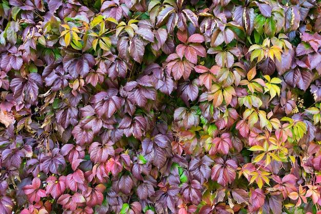 야생 포도의 붉은 잎을 가진 나무 격자.