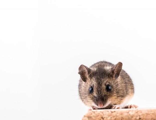 Лесная мышь, apodemus sylvaticus, сидит на пробковом кирпиче на светлом фоне