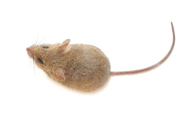 Деревянная мышь, изолированные на белом фоне