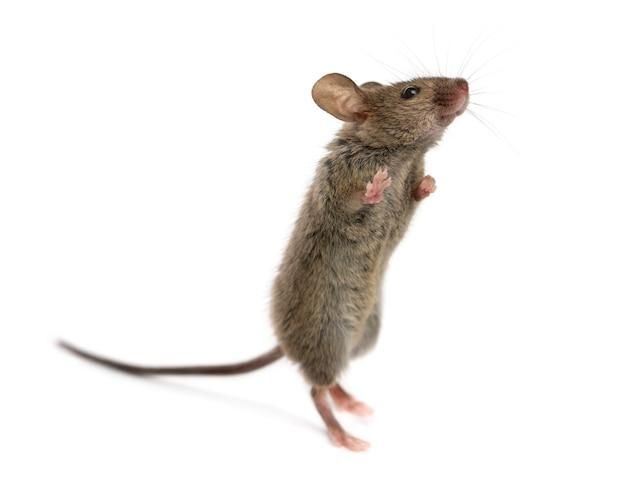 Деревянная мышь смотрит вверх перед белой поверхностью