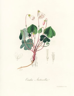 Wood sorrel  (oxalis acetosella) illustration from medical botany (1836)