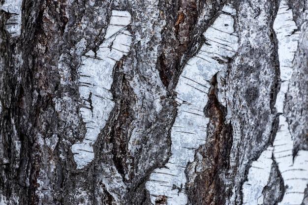 나무 질감. 흑인과 백인 자작 나무 나무 배경을 닫습니다. 성인 자작 나무 껍질의 표면에 대한 세부 사항
