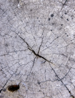 Wood texture of cut tree trunk background