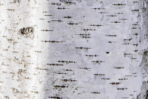 木の質感、天然の白樺の樹皮