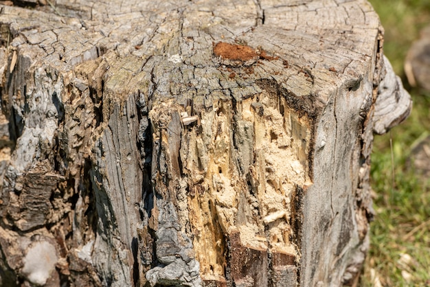 Wood texture of rotten tree trunk