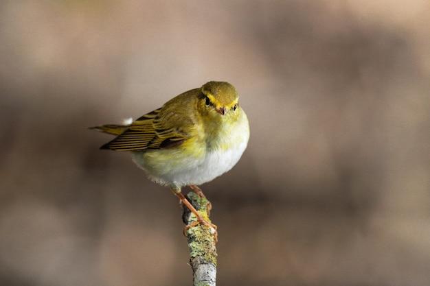Певчая птица phylloscopus sibilatrix