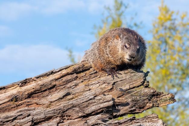Woodchuck sitting on a log
