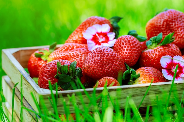 Wooden box with fresh ripe organic strawberries on green grass at summer fresh fruits.