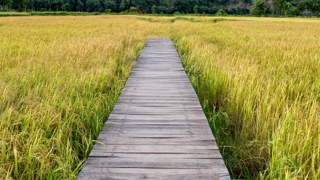 Wooden bridge on rice field in countryside