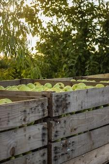 Деревянные ящики, полные спелых яблок во время ежегодного сбора урожая