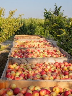 毎年の収穫期間中に熟したリンゴでいっぱいの木箱