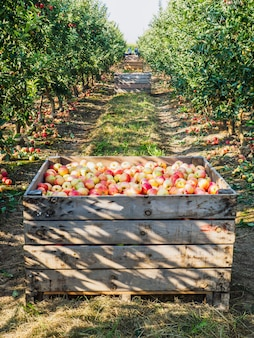 Wooden crates full of ripe apples during the annual harvesting period.