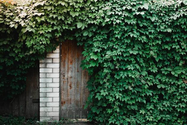 Деревянная дверь заросла плющом. живая изгородь