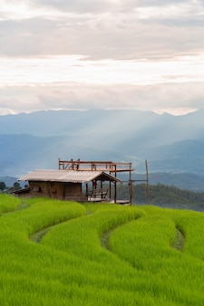 Wooden house in a terraced rice field filled with rice