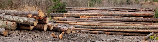 Wooden logs of pine woods in the forest, stacked in a pile. freshly chopped tree logs stacked up on top of each other in a pile.