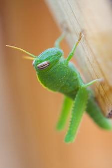 Деревянная открытая grasshoper животное природа