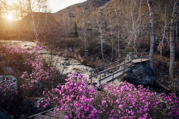 嵐の渓流に架かる木製の歩道橋。山での春の朝。灰色の石、前景にピンクの花が咲くシャクナゲの茂み。川の融雪水。