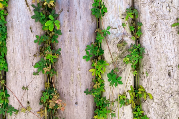 Wooden planks fence with branches of wild grapes