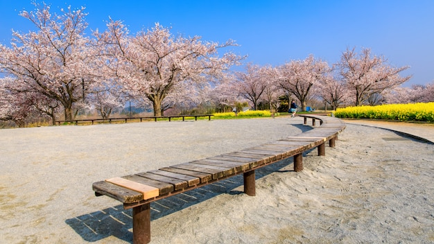 Wooden table and sakura garden  with yellow flower in japan