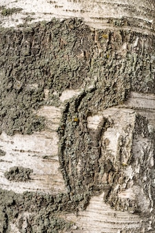 Wooden texture birch tree of dark rough tree bark brown color wirh copy space