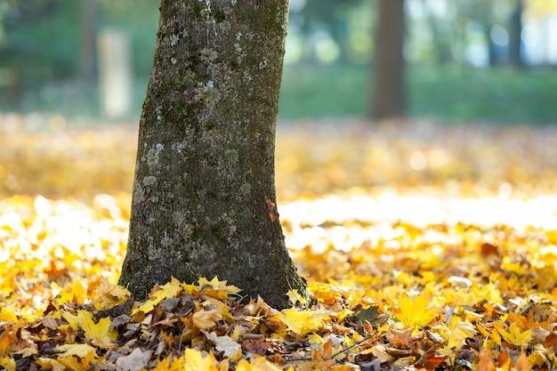 가을 공원에서 타락한 노란 잎을 가진 큰 나무의 나무 줄기.