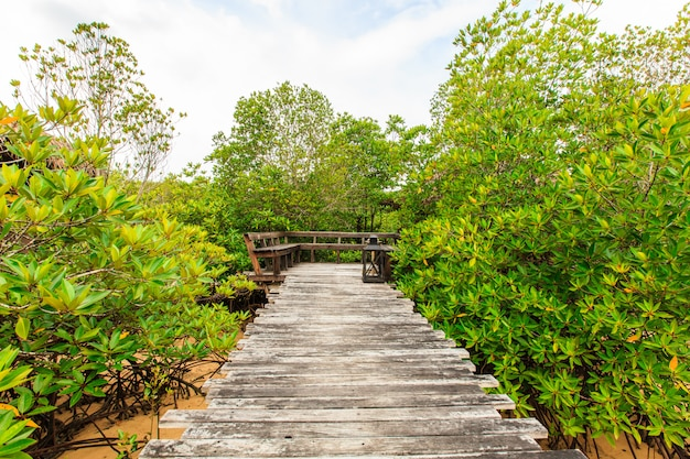 Wooden walk path in mangrove forest