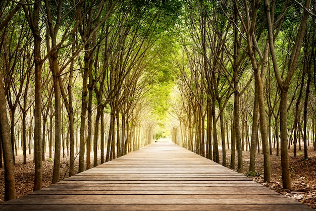 Wooden walkway and rubber tree