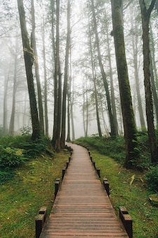 Wooden walkway that leads to cedar trees in the forest with fog in alishan national forest recreation area in chiayi county, alishan township, taiwan.