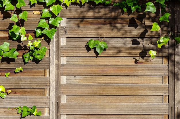 Wooden wall texture background in garden with tangled green ivy leaves on the wall. spain.
