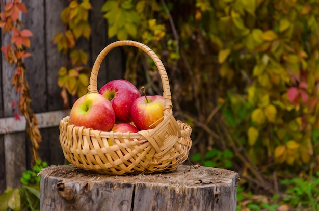 Wooden wicker basket with red juicy apples on stump against the an old fence with wild grapes