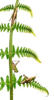 Лесной кузнечик - omocestus rufipes