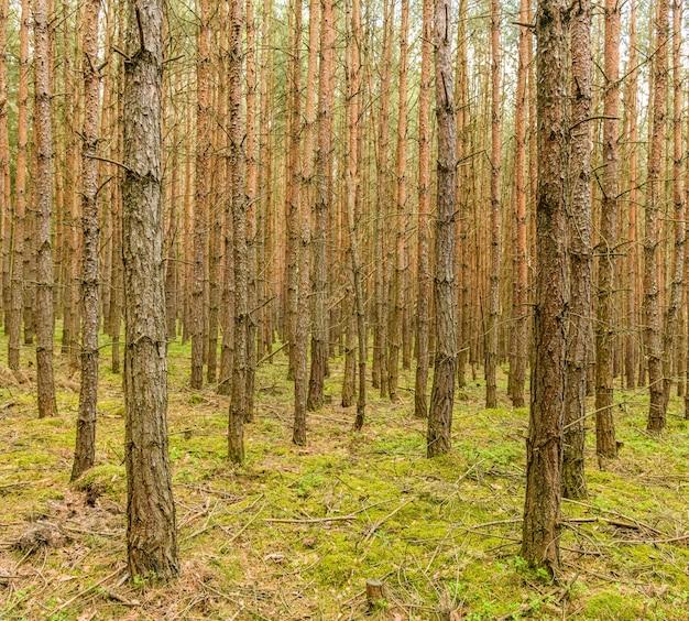 若い中空松の茎のある森の風景