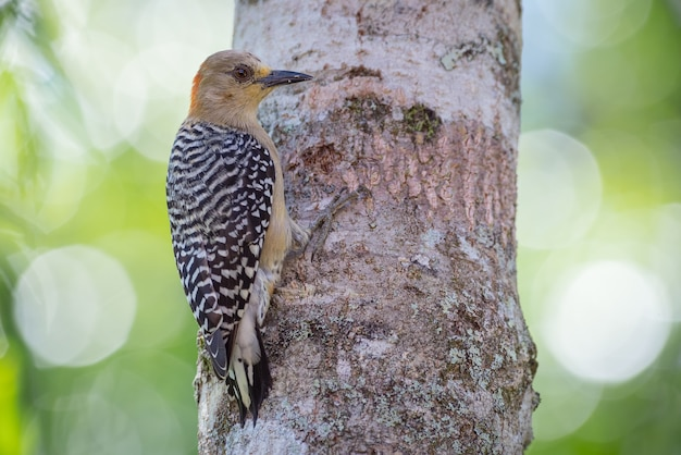 Woodpecker holding onto a tree as it searches for food in its bark