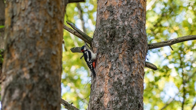 Woodpecker sits on the tree, autumn in siberia.