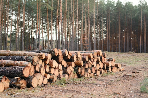 Woodpile of freshly harvested pine logs lays near the former pine forest