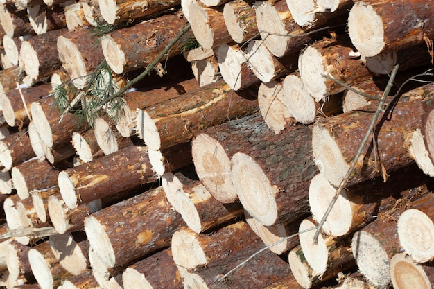 Woodpile of freshly harvested spruce logs. trunks of trees cut and stacked in forest. wooden logs. selective focus