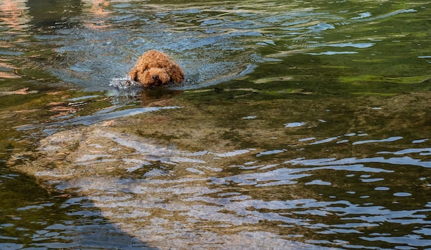 湖で泳ぐことを学ぶ羊毛の子犬。ラグーンで泳ぐことを学ぶ茶色の羊毛の子犬。