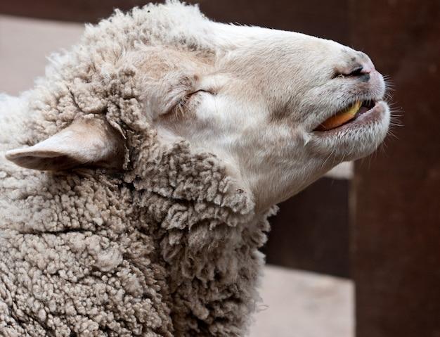 動物園で羊毛の羊