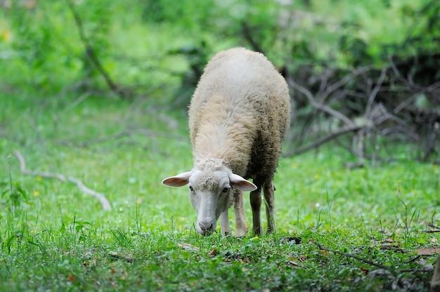 녹색 들판에 서 있는 털복숭이 양