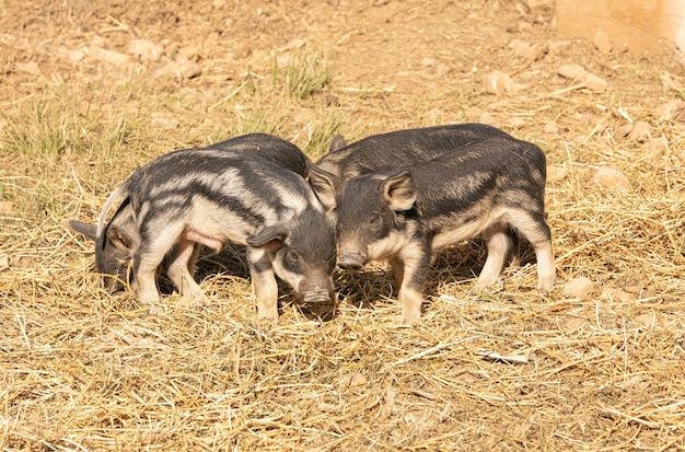 농장에서 털북숭이 아기 돼지