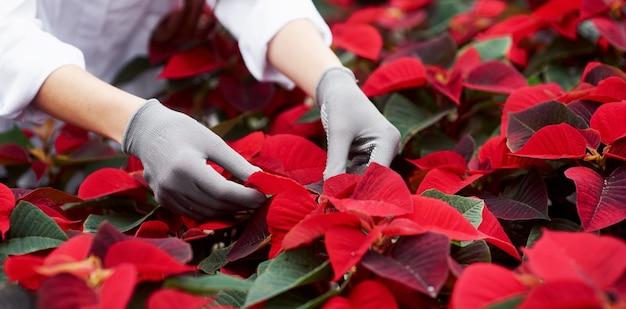 Работа в процессе. закройте вверх по фото растений красного и зеленого цвета, заботясь руками женщины в серых перчатках.